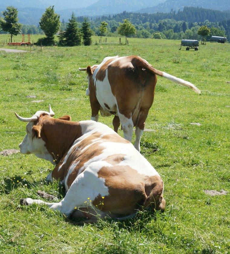 Vacas alpinas